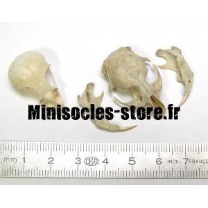 Crânes et mâchoires XL (x2)