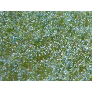 Fleurs des prés bleues