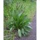 Le plantain lancéolé dans la nature