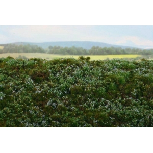 Lande sauvage / Bruyères bleues