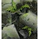 Mini Fougères Naturelles MINISOCLES