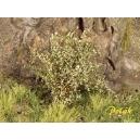 Arbustes 35-45 mm Vert Saule (x5)